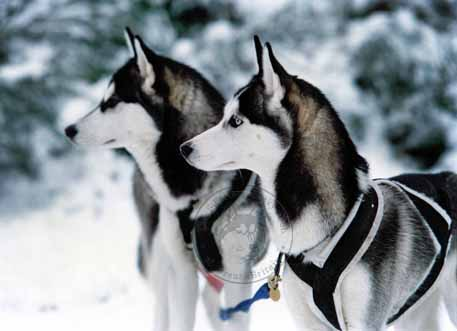 Siberian Husky Club of Great Britain